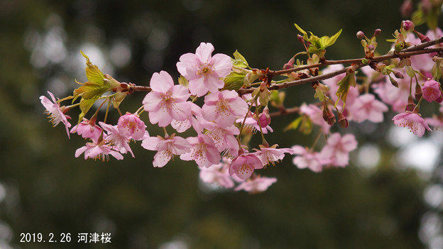河津桜226_776kawadusakura