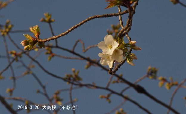 大島桜_084oosima