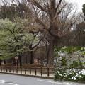 奏楽堂の大島桜299oosima