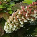 Photos: カシワバアジサイ629_105klasiwaba