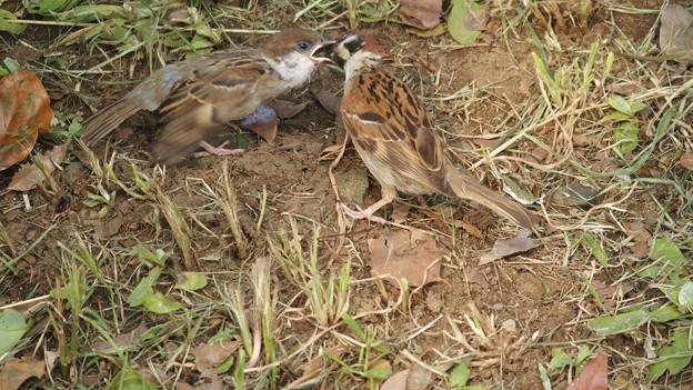 雀のヒナ5454