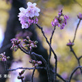 Photos: 寒桜20160116_711kannzakura