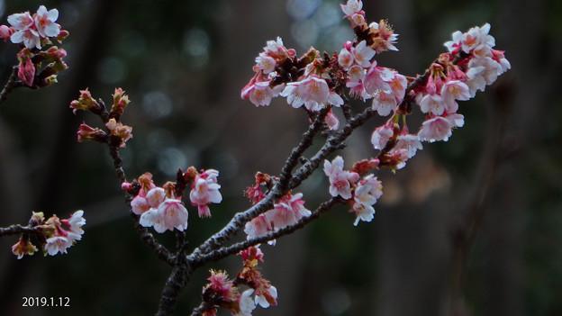 Photos: 寒桜20190112_199kanzakura