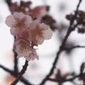 Photos: 寒桜とヒヨドリP1300179sct