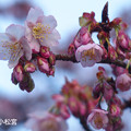 Photos: 寒桜_245kanzakura