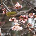 Photos: 大寒桜とメジロ_0491mejiro