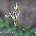 Photos: 咲きました0922_053hototogisu