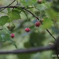 Photos: ツリバナ923_830turibana