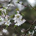 彼岸桜ではありませんが、。、、835jyuugatusakura