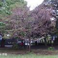 Photos: 十月桜832jyuugatu_s