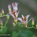 Photos: ホトトギス_040hototogisu