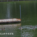 Photos: サギとカモ0534sagi&kamo