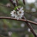 Photos: 狂い咲き0597s