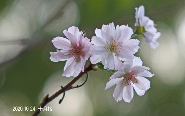 十月桜_908jyuugatu