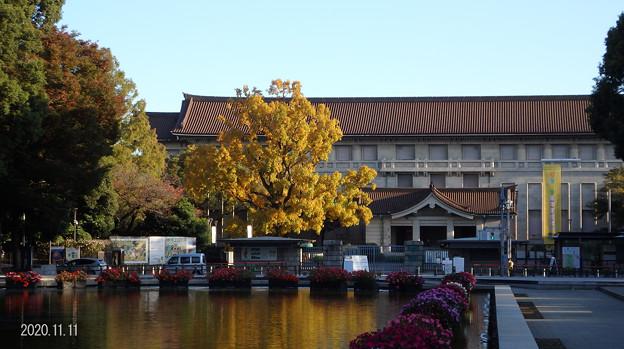 Photos: 博物館のユリノキ_237kokuhaku