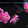 Photos: 紅梅_063ume