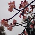 雨の寒桜196c1500