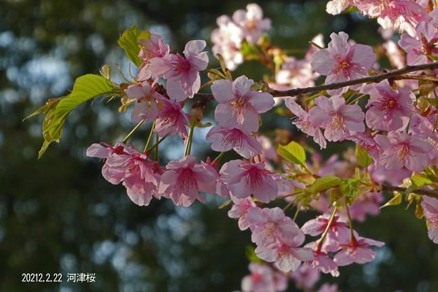 河津桜_811kawazusakura