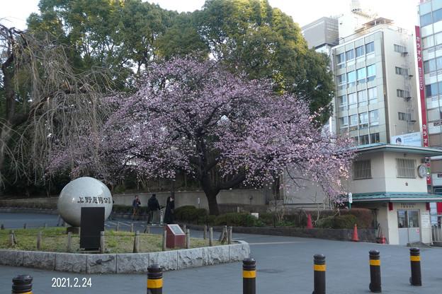 Photos: 広小路口の大寒桜