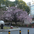 広小路口の大寒桜