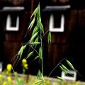 写真: カラス麦みのる