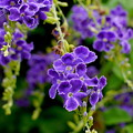 濃青紫彩滲む