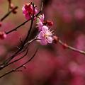 写真: 染めゆく桃色