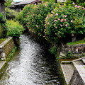 Photos: 芙蓉咲く水路