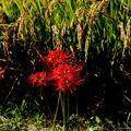 Photos: 秋畔の飾