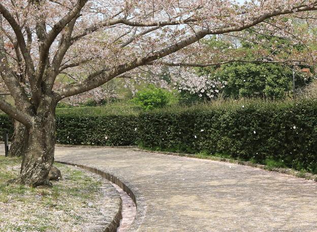 20180404aa10桜吹雪1