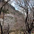 20190421n12屏風岩の桜