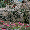 20190421 an桜とサザンカ