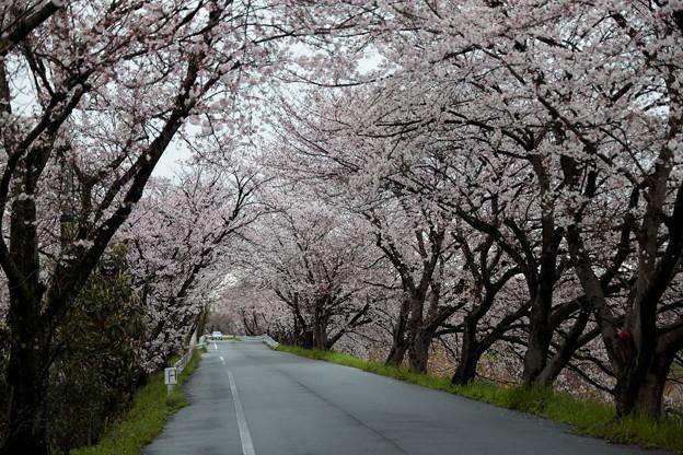 20200328aa飛鳥川桜のトンネル