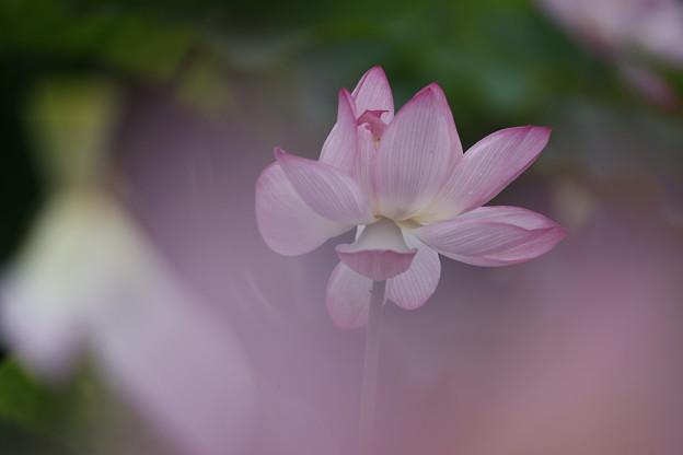 20200711藤原宮跡蓮の花aa10