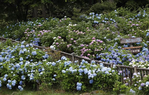 20200712花園あじさい園aa10