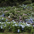 Photos: 20200712花園あじさい園aa10