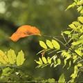 写真: 一枚の赤い葉