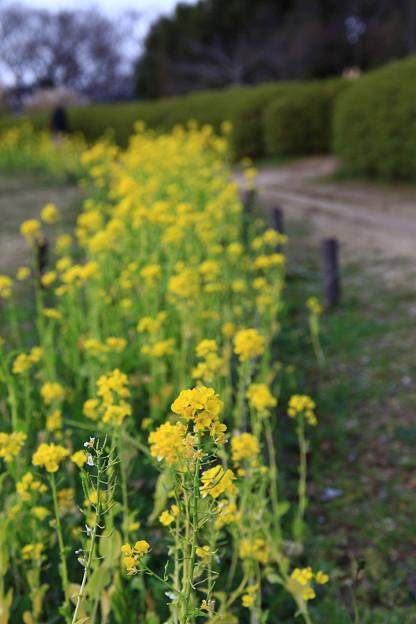 菜の花(梅小路公園)