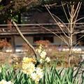 社の前の水仙(京都御苑)