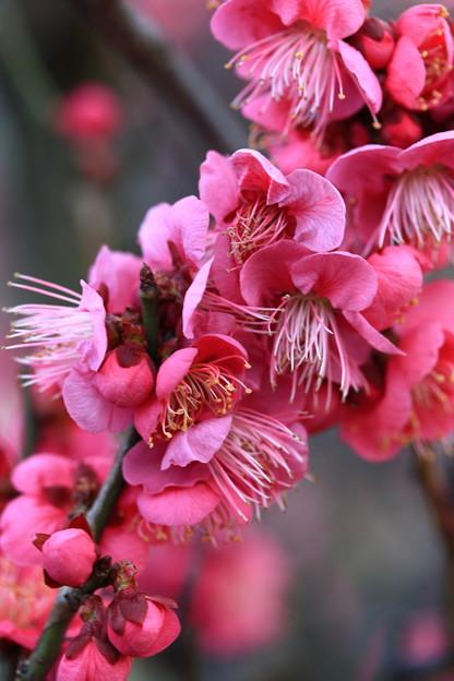 梅の香(梅小路公園)