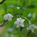 写真: ちさの花