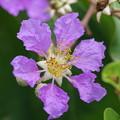 ラオスの花