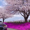お花見ドライブ