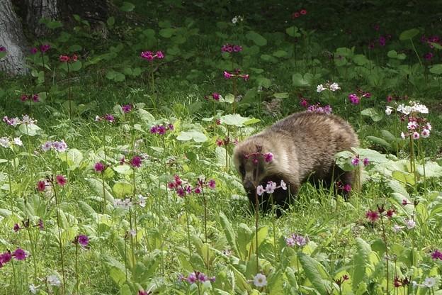 お花畑にムジナ