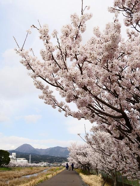 南足柄・狩川沿い・春めき桜