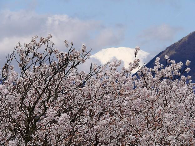 春めき桜・富士山