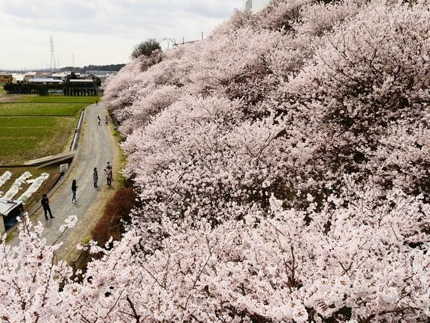一の堰ハラネ・春めき桜