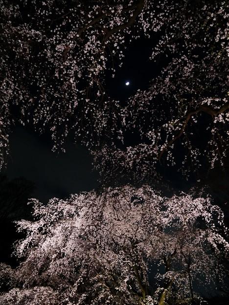 六義園の桜銀河
