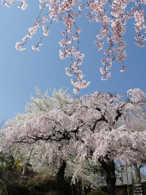 世田谷・妙法寺・桜