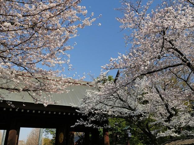 靖国神社・桜